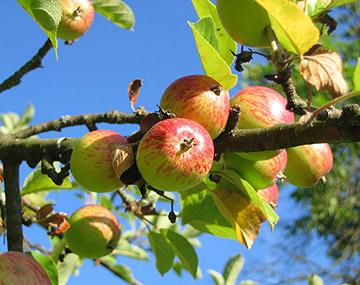 Fitzgeralds-Orchard
