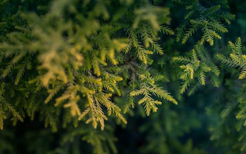 Ralphs-Christmas-Trees