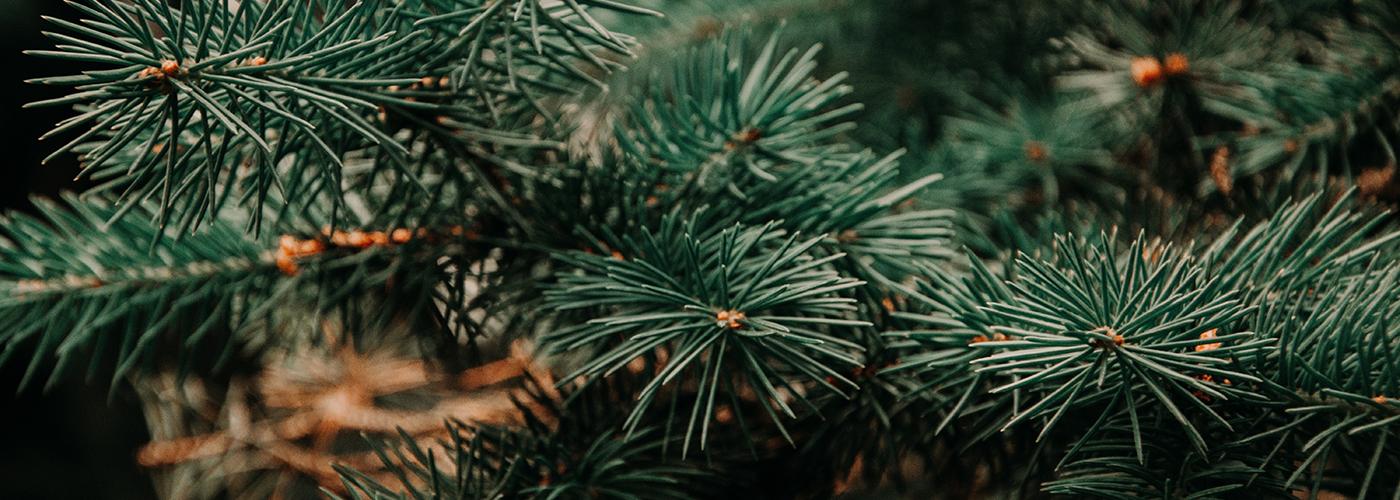 Frasier Fir tree