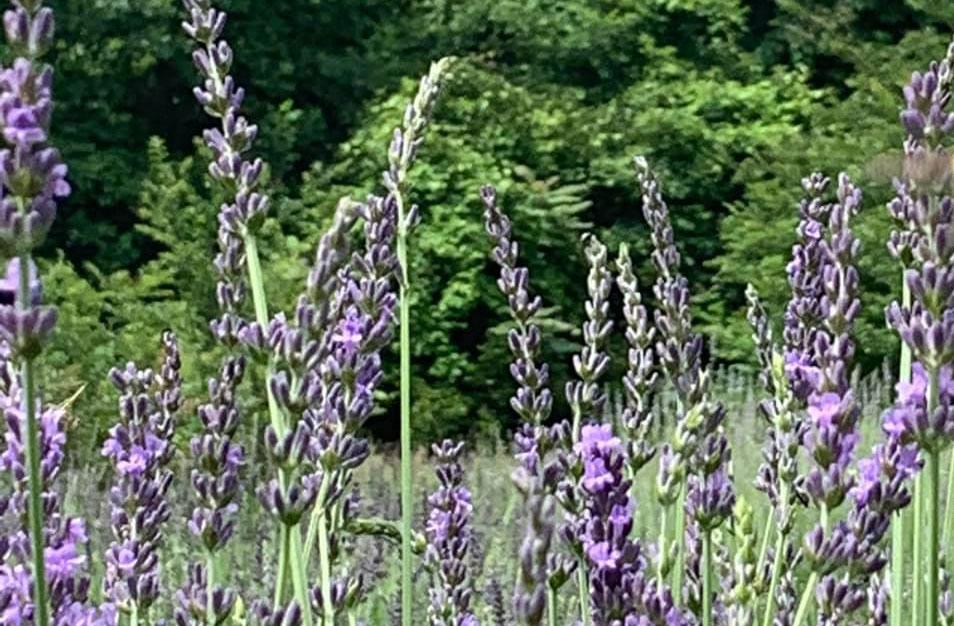 Silver Fox Lavender Farm